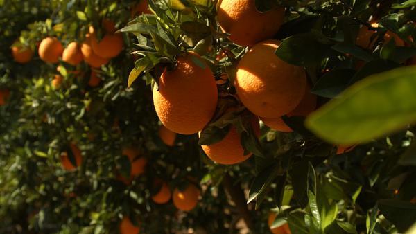 Der Weg der Orange - Logistik einer Superfrucht