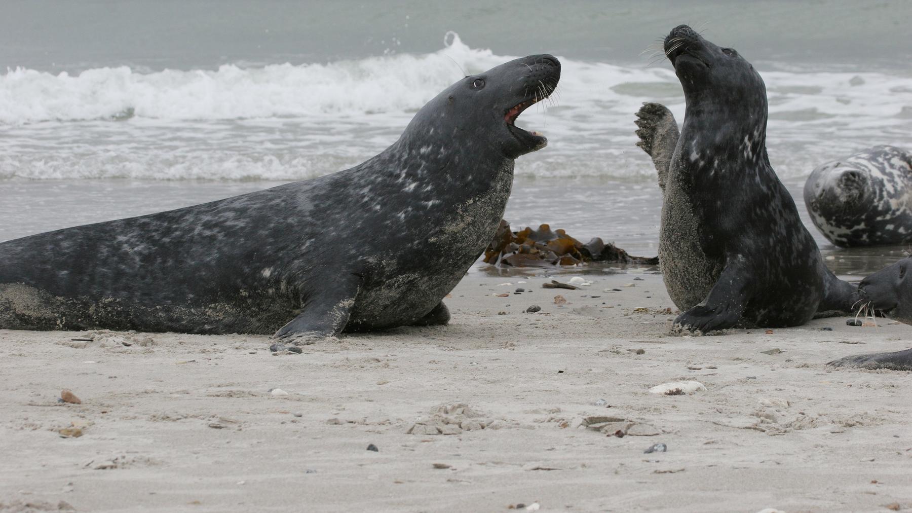 Invasion der Robben