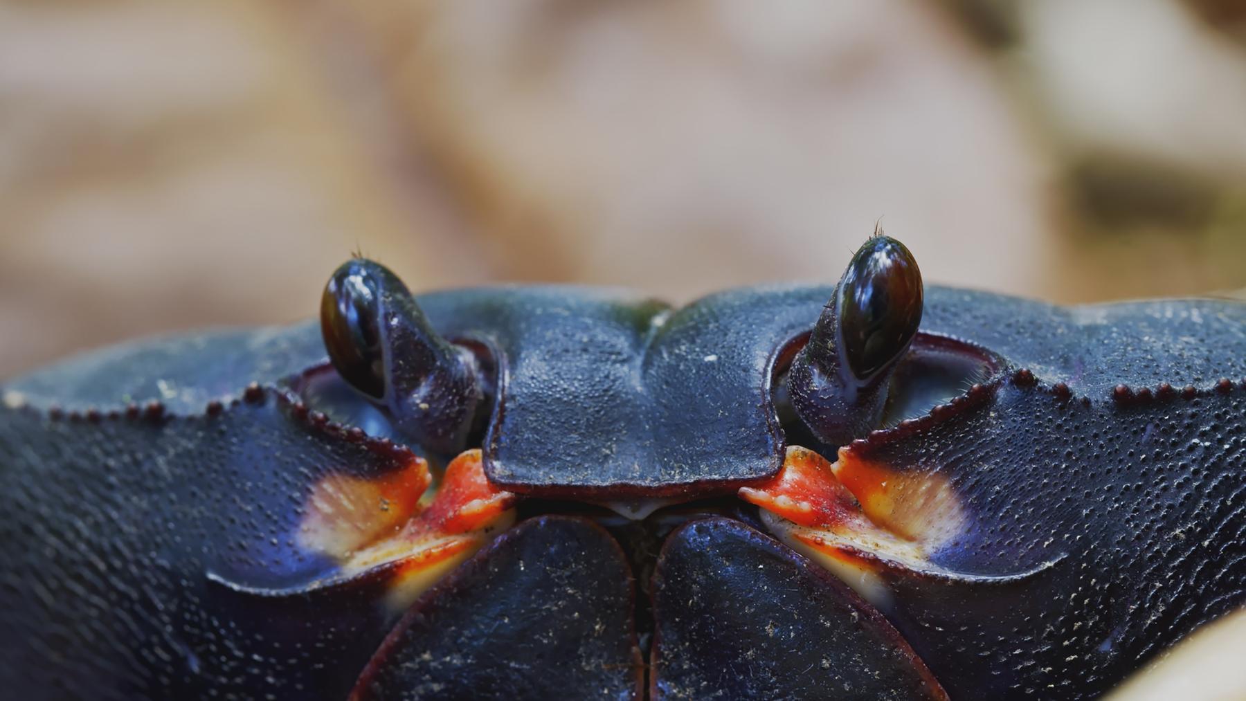 Aufbruch der schwarzen Krabben