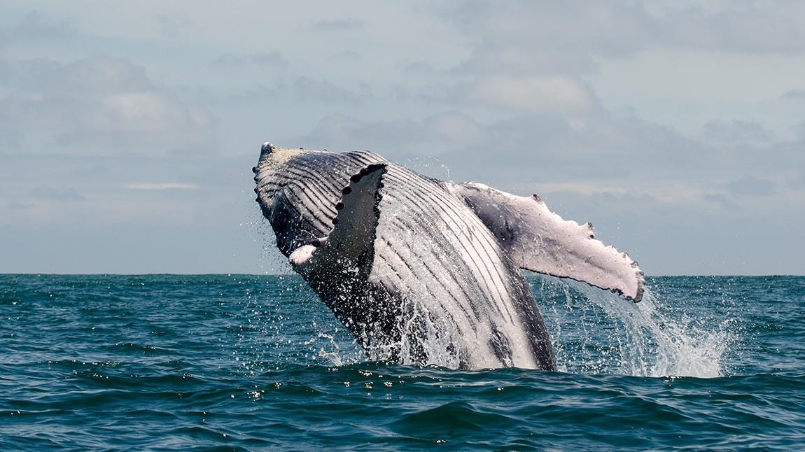 Die große Reise der Buckelwale