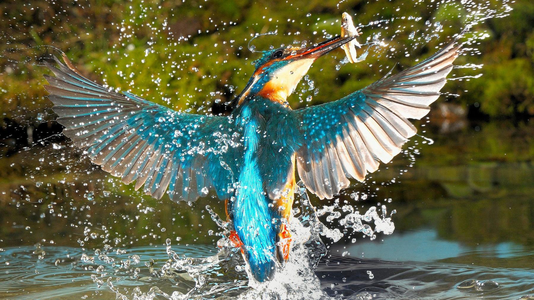 Im Reich des Eisvogels - Westerwalds fleißigster Fischjäger