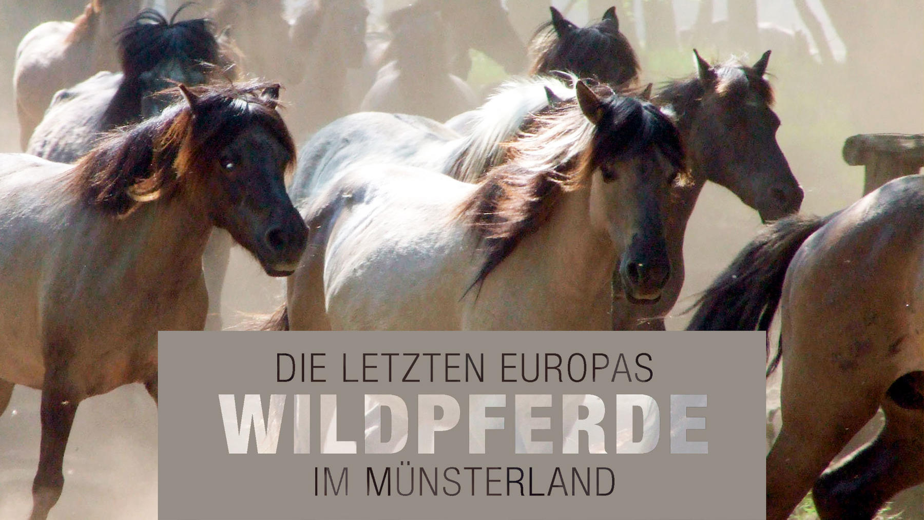 Die letzten Europas: Wildpferde im Münsterland