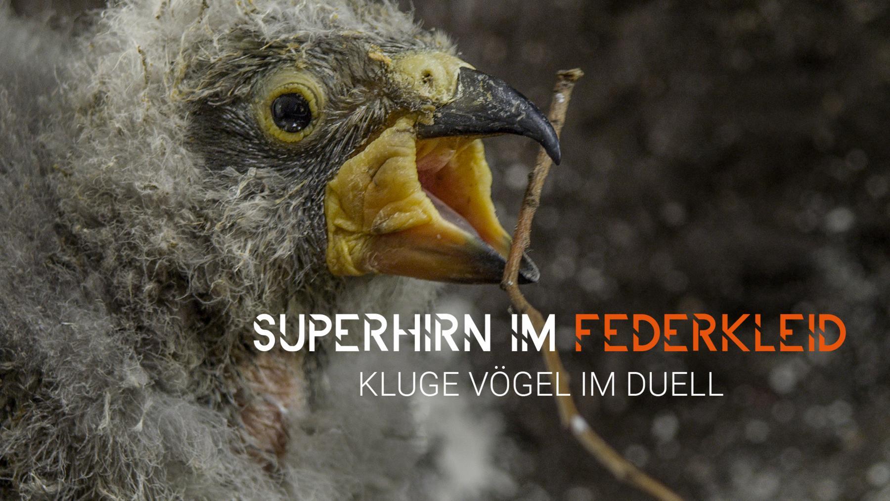 Superhirn im Federkleid - Kluge Vögel im Duell