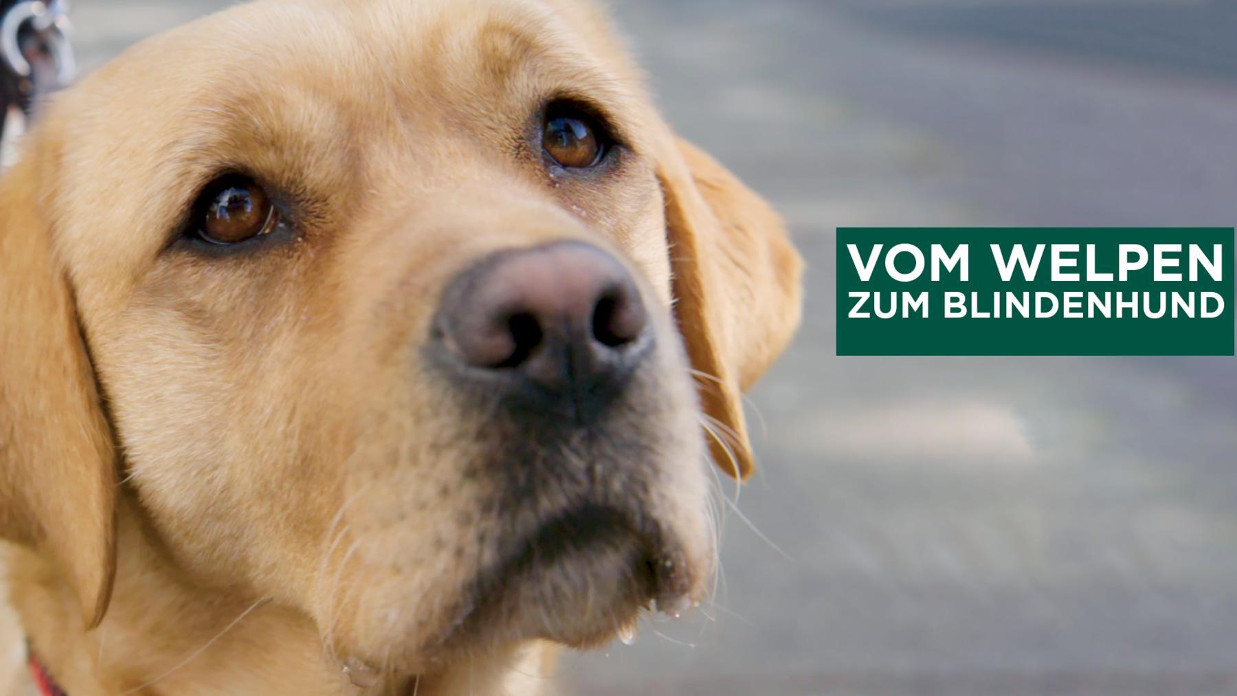 Vom Welpen zum Blindenhund