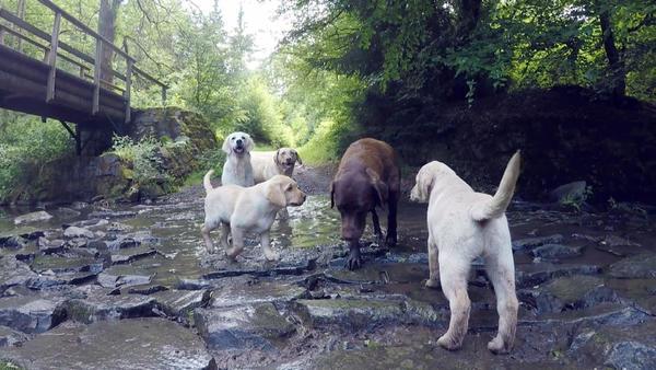 Ein Labrador als Ammenhündin