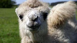 Babyalarm auf dem Kamelhof