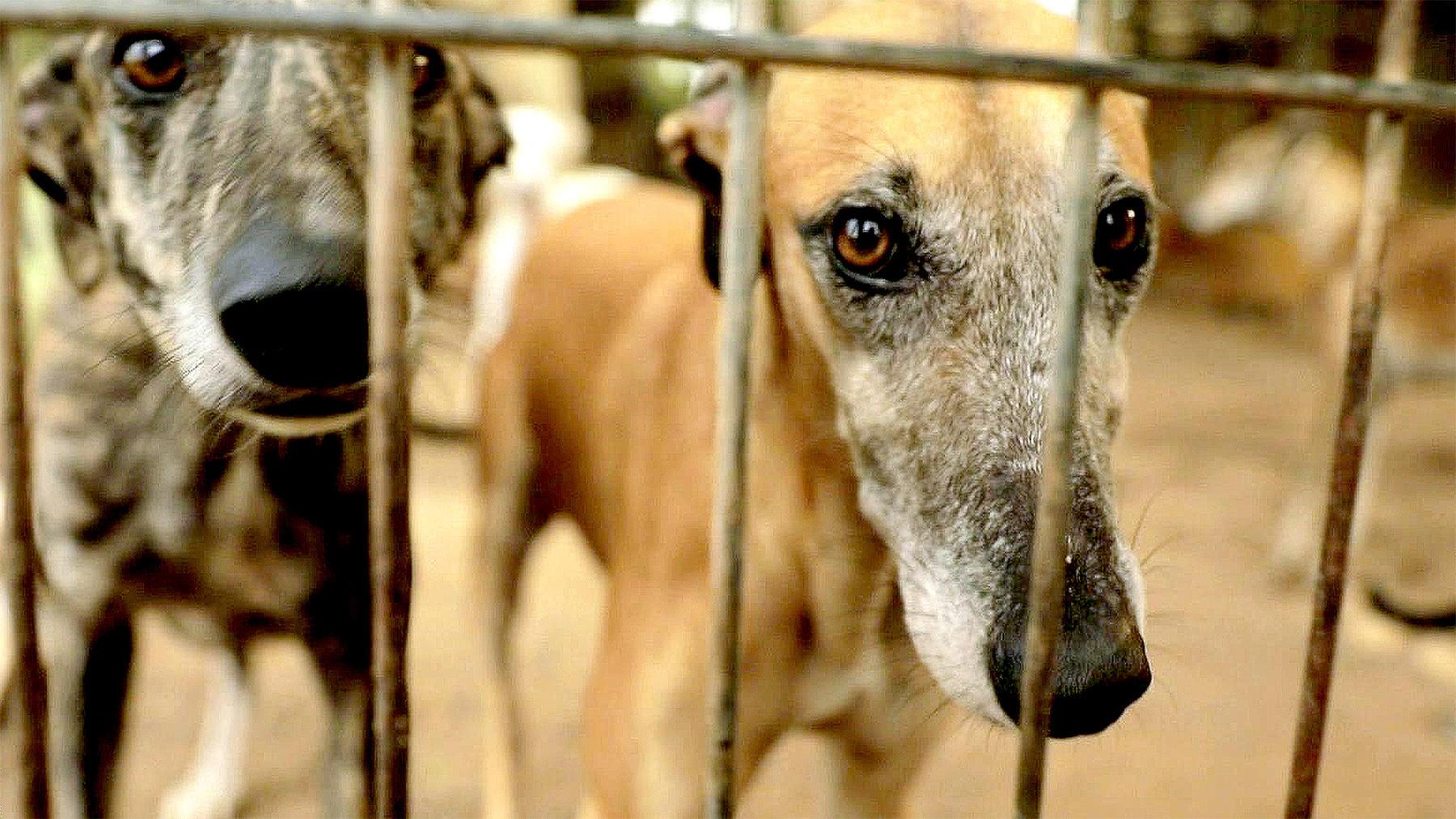 Galgo Español - das tragische Schicksal der spanischen Windhunde