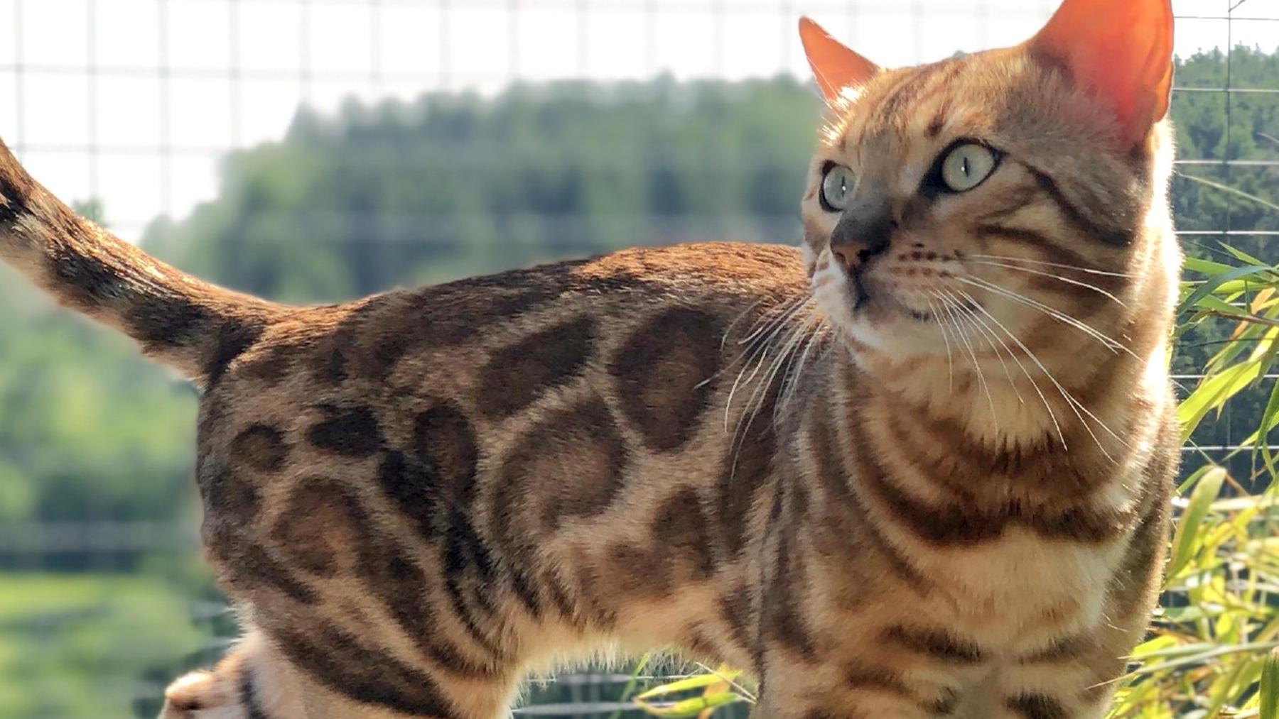 Thema heute u.a.: Die Bengalkatze - der Mini-Leopard fürs Wohnzimmer