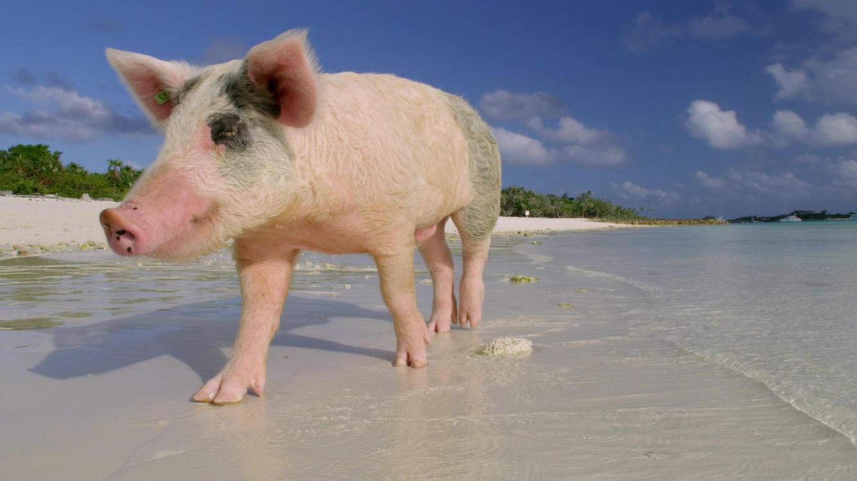 DIe fabelhafte Welt der Schweine im Online Stream   TVNOW