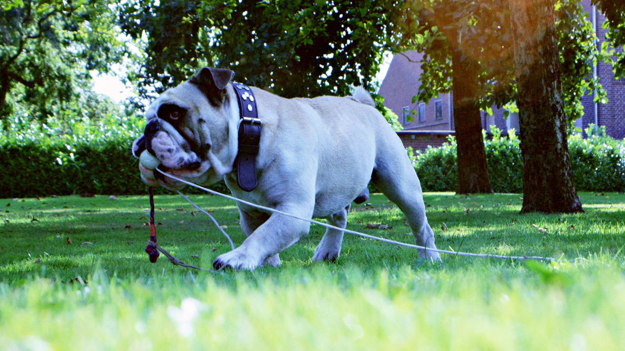 Labrador-Mischling 'Mogli' / Bulldogge 'Tequila'