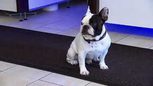Bulldogge 'Bruno' / Schäferhündin 'Mona'