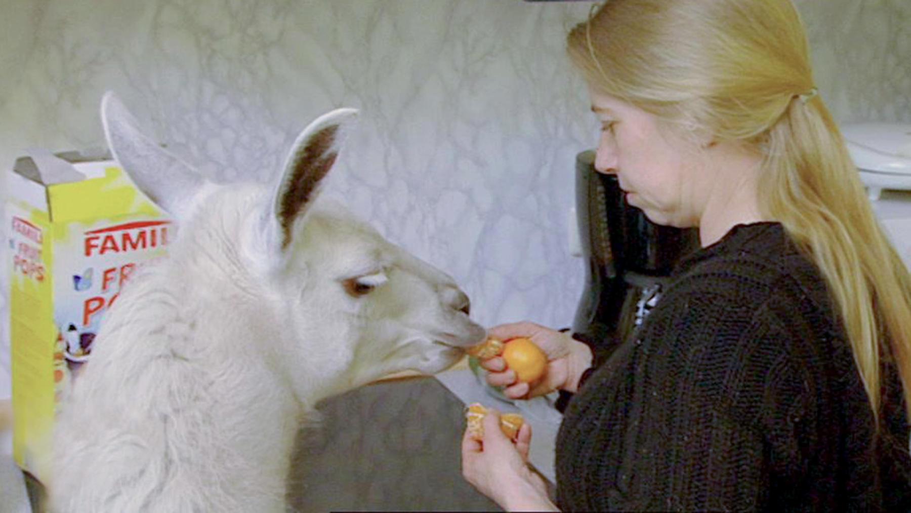 """Eine Prothese für Lama """"Socke"""""""