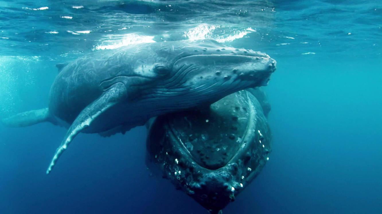 Die große Reise der Buckelwale im Online Stream | TVNOW