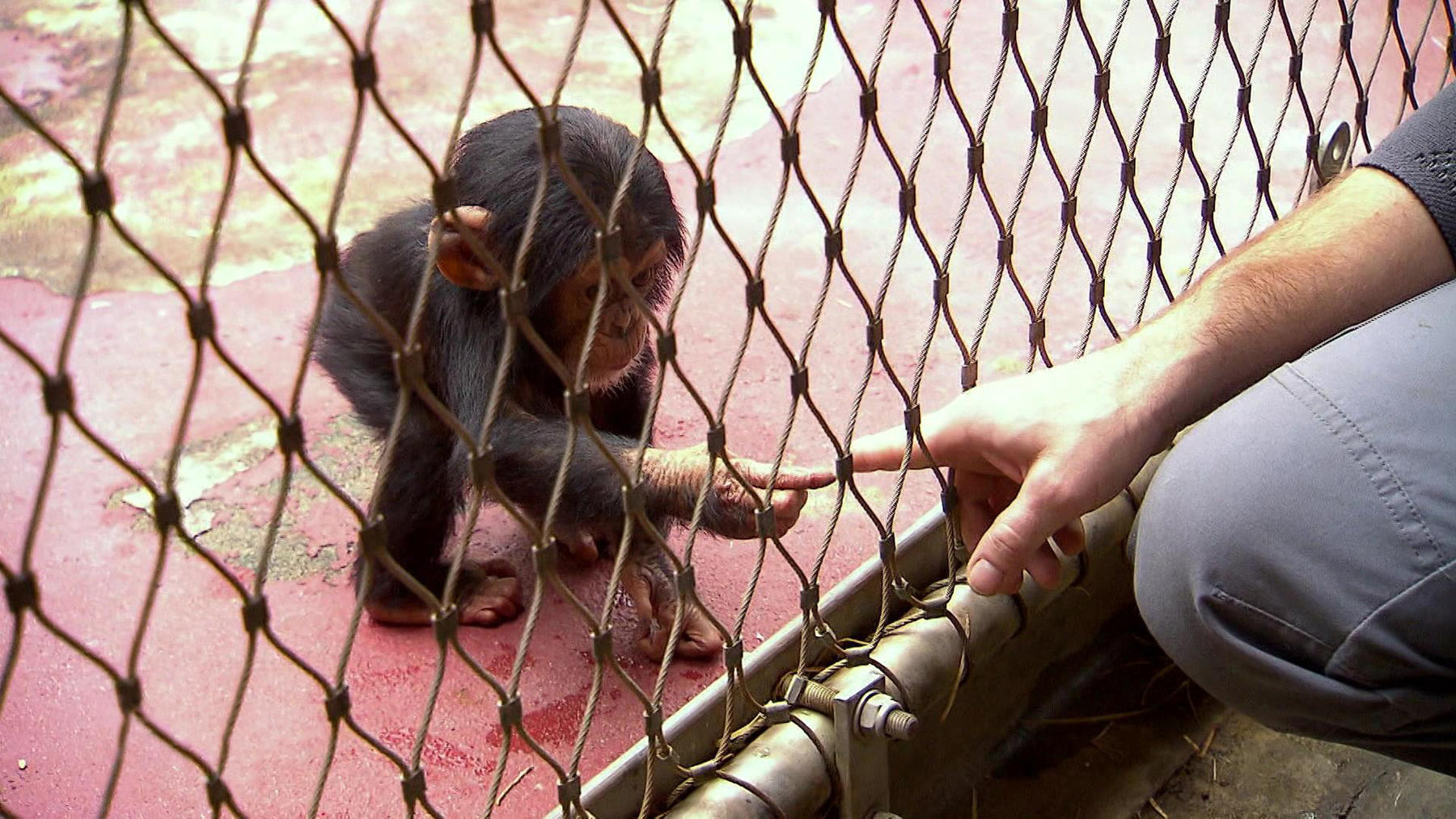 "Thema heute u.a.: Schimpansenbaby ""Dayo"""