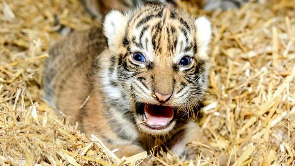 Thema heute u.a.: Tigerbabys in Berlin