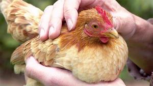 Thema u.a.: Faszination Minihühner