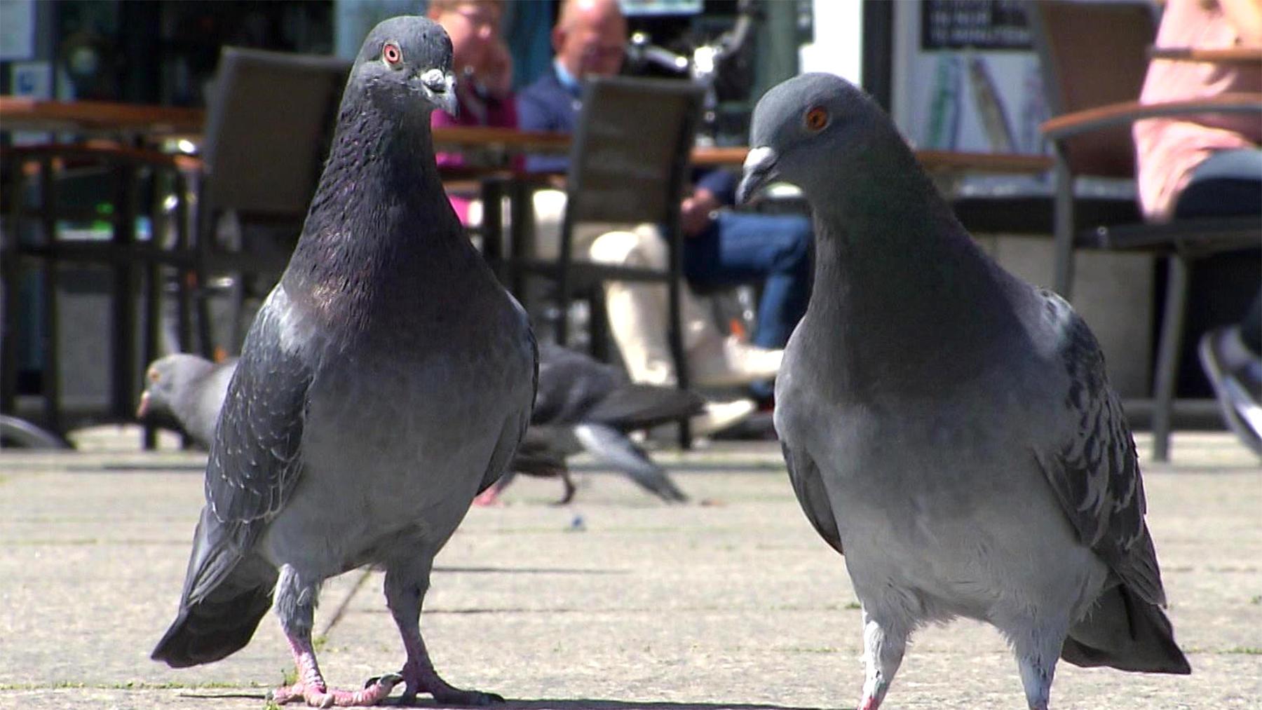 Heute: Kot und Elend - die Hassliebe zu den Tauben