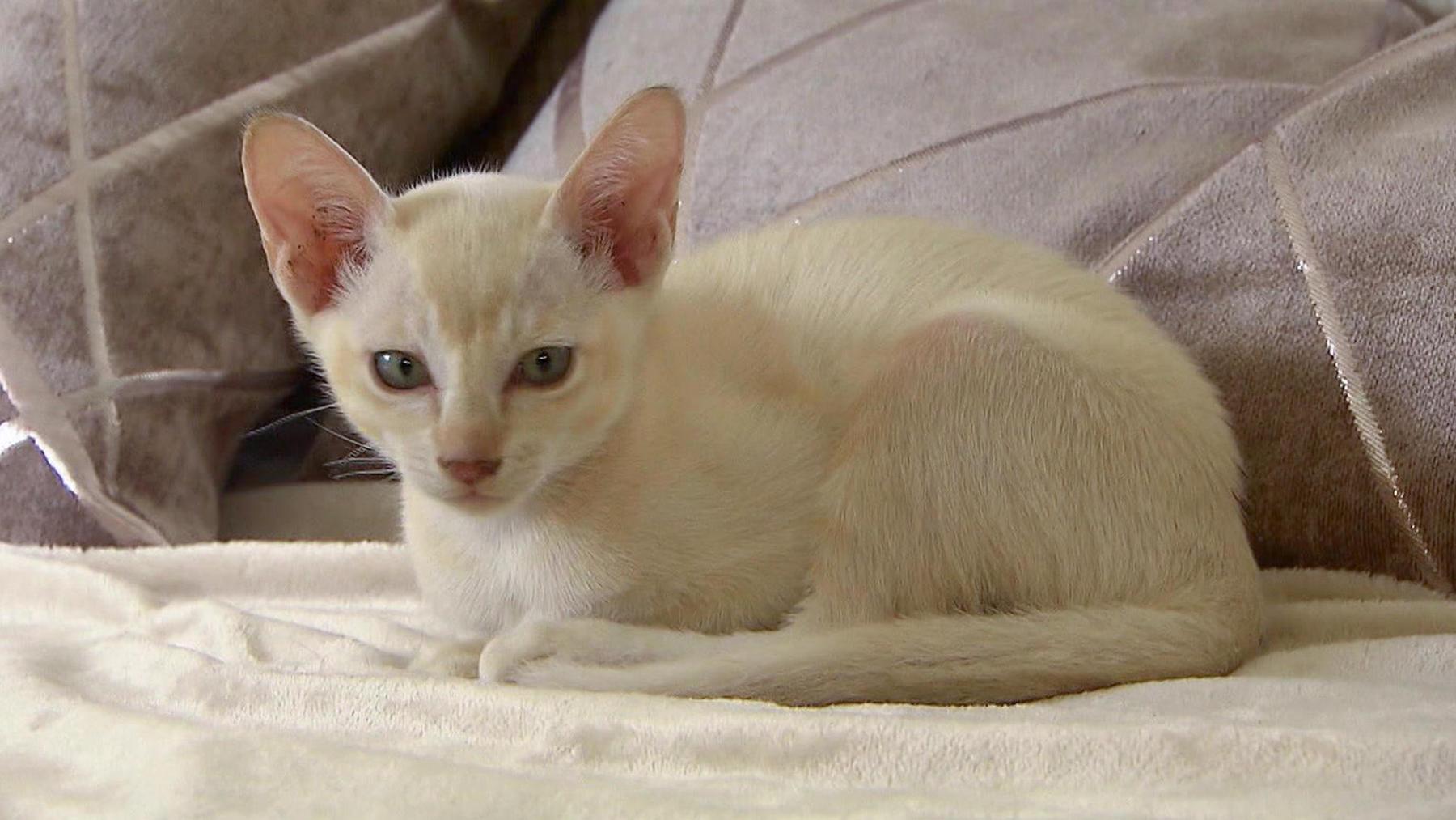 Heute u.a mit: Katzenportrait Tonkanesen