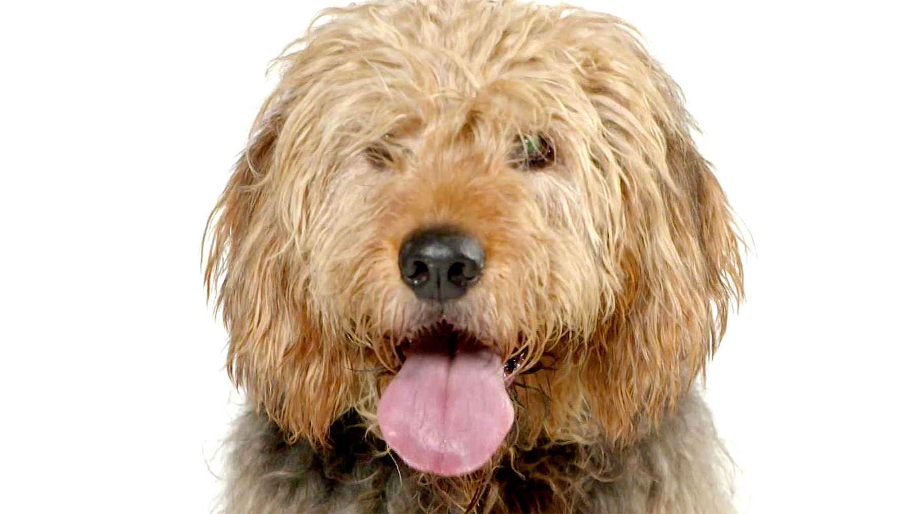 Heute u.a.: Der Otterhound im Portrait